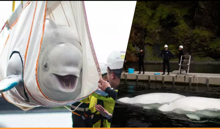 Two Beluga Whales Rescued From Performing As Show Animals After Nine Years In Captivity