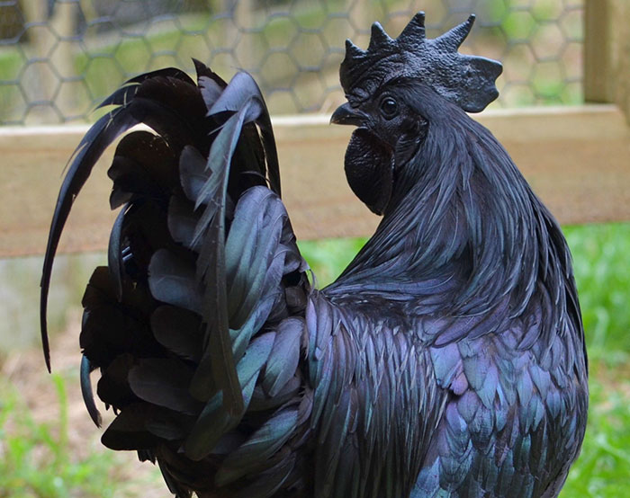 This Rare Goth Chicken Is 100% Black From Its Feathers To Its Internal Organs And Bones