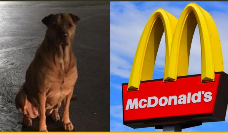 Dog Conned Customers At McDonald's To Get Burgers By Pretending To Be A Stray