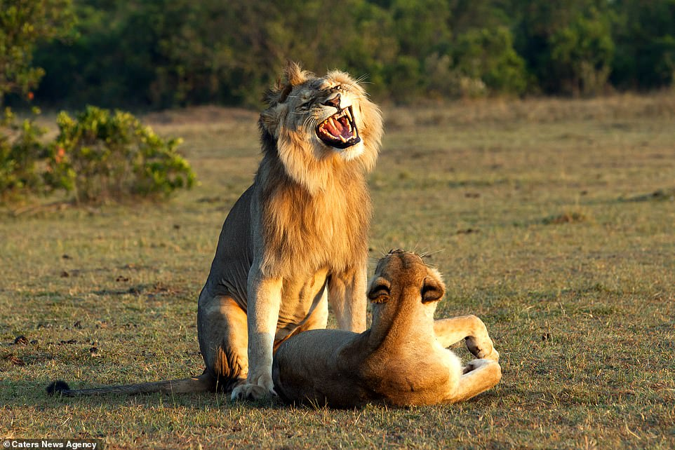 Explanation Of This Viral Picture On The Internet Of Lion Mating With Lioness