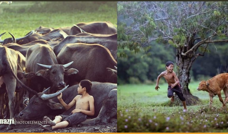 The Photographs of Terengganu Boy Playing With Cattle Have Gone Viral After Winning at an International Forum!