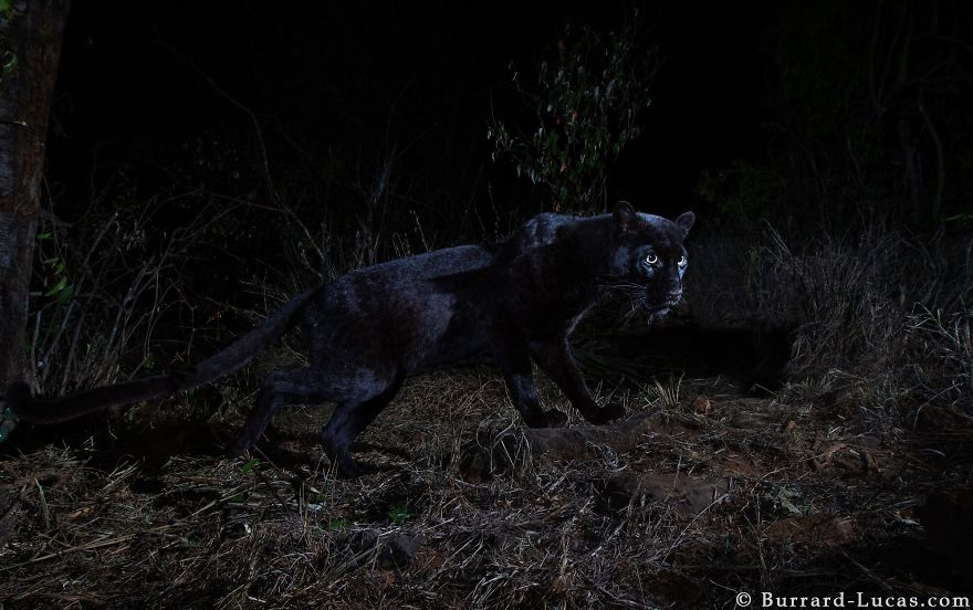 Rare Black Leopard Is Photographed For The First Time In Century In Africa