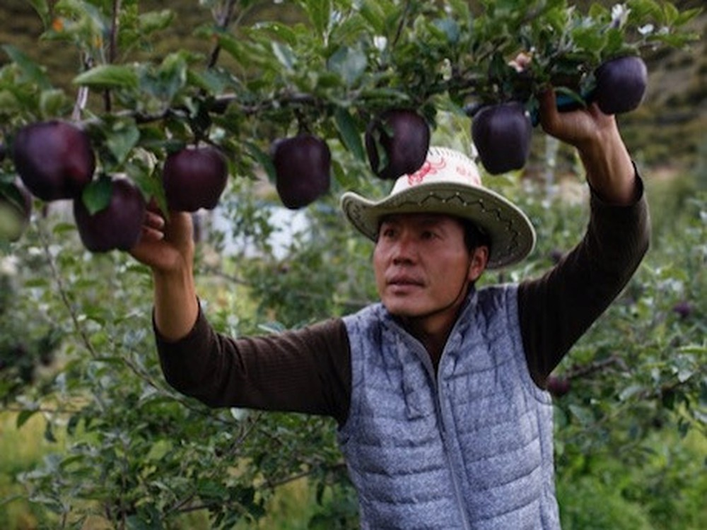 Farmers Refuse To Grow These Rare Black Apples For A Particular Reason