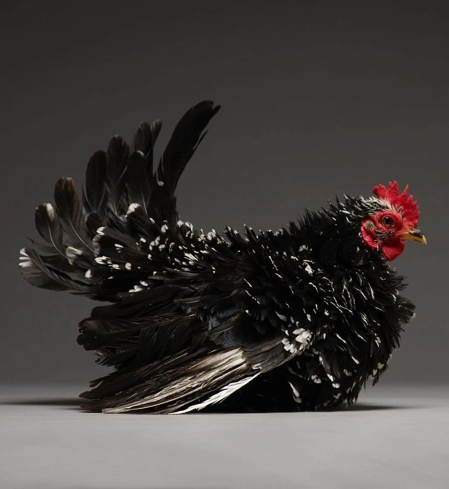 Photographer Creates An Amazing Documentation Of Chickens And They Look No Less Than Supermodels