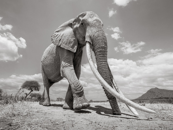 Kenya's Majestic Elephant Queen With Super Tusks