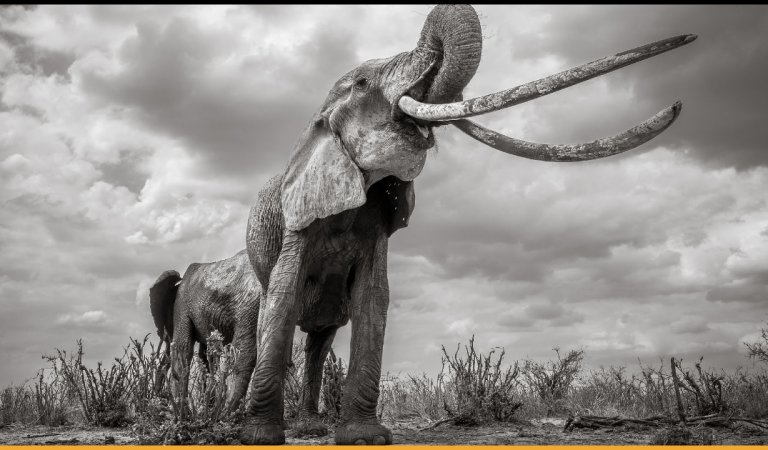 The Images Of Kenya's Majestic Elephant Queen With Super Tusks Are A Delight To Look At