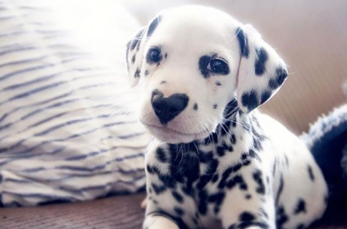 This Puppy, Wiley Is Ruling Over The Internet For His Heart Shaped Nose