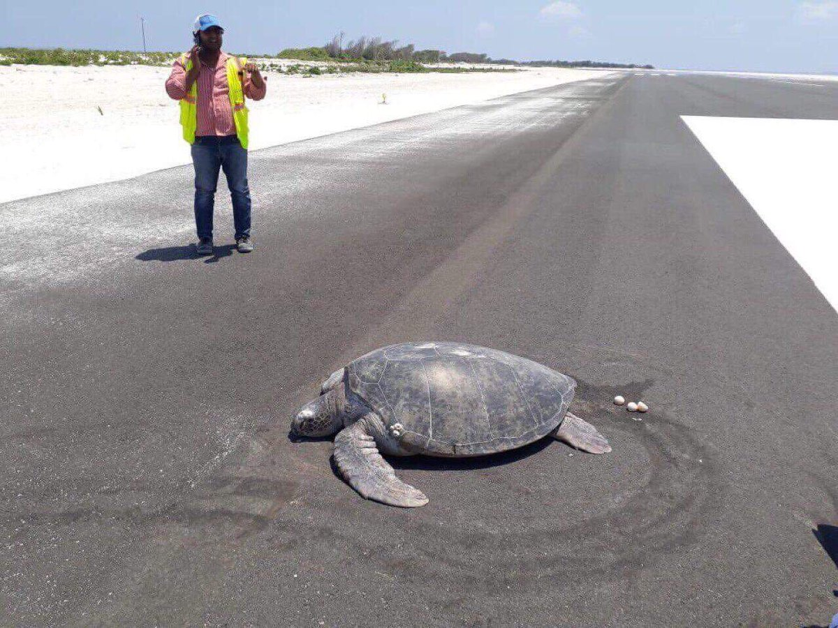 Turtle Goes On Island To Lay Eggs But Find A Runway There