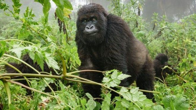 Anti Poaching Rangers And Gorillas selfie
