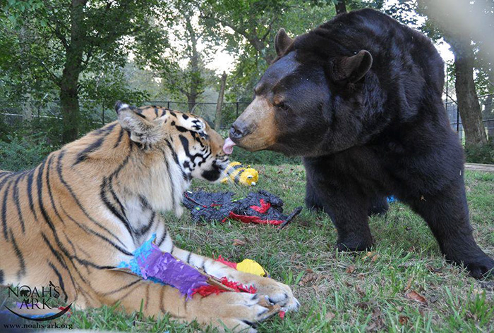 These Animals including Bear Tiger Lion live together