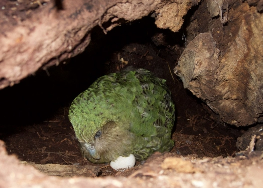 New Zealand based parrot species Kakapos has best breeding season