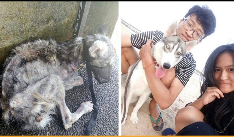 Man Completely Transformed A Husky Who Was A Malnourished Skinny Dog In Just 10 Months