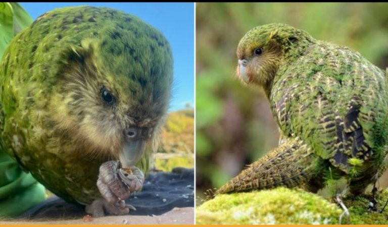 Kakapo, The Worlds Fattest Parrot Species from New Zealand Hits the Record For Best Breeding Season