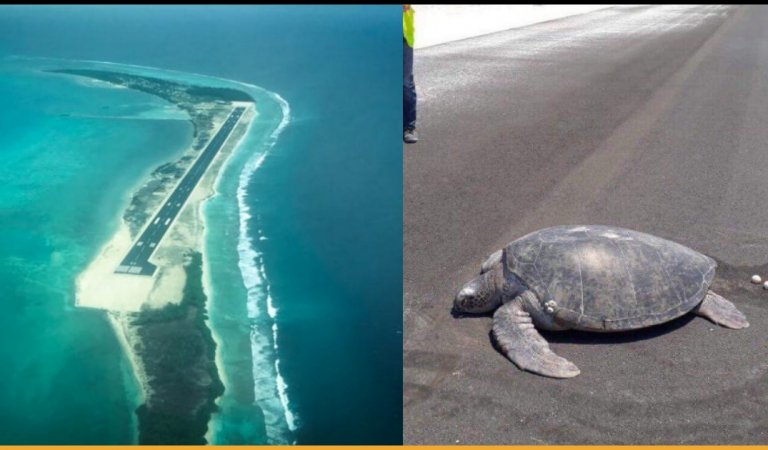 Turtle Goes On Island To Lay Eggs But Finds A Runway There