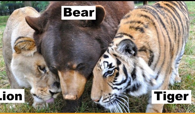 Three Animals Including A Bear, A Tiger And A Lion Pretend To Be Real Brothers For Over 15 Years