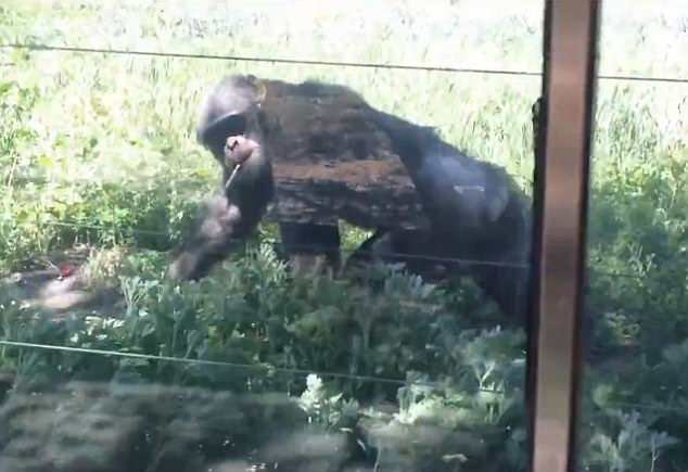 Chimpanzee becomes a chain smoker as tourists throw let cigarettes at him for 16 years
