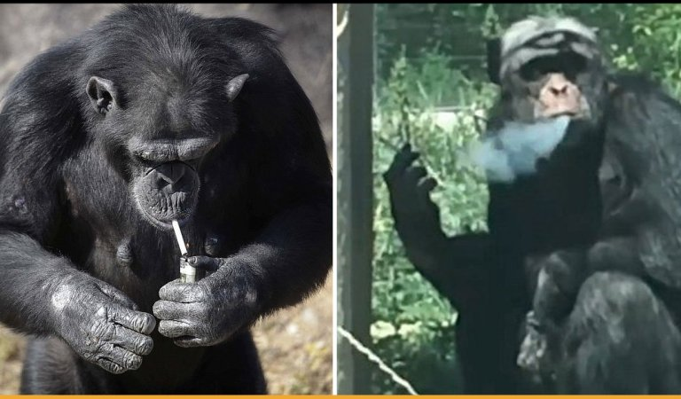 Chimpanzee Becomes A Chain Smoker As Tourists Throw Lit Cigarettes At Him For 16 Years