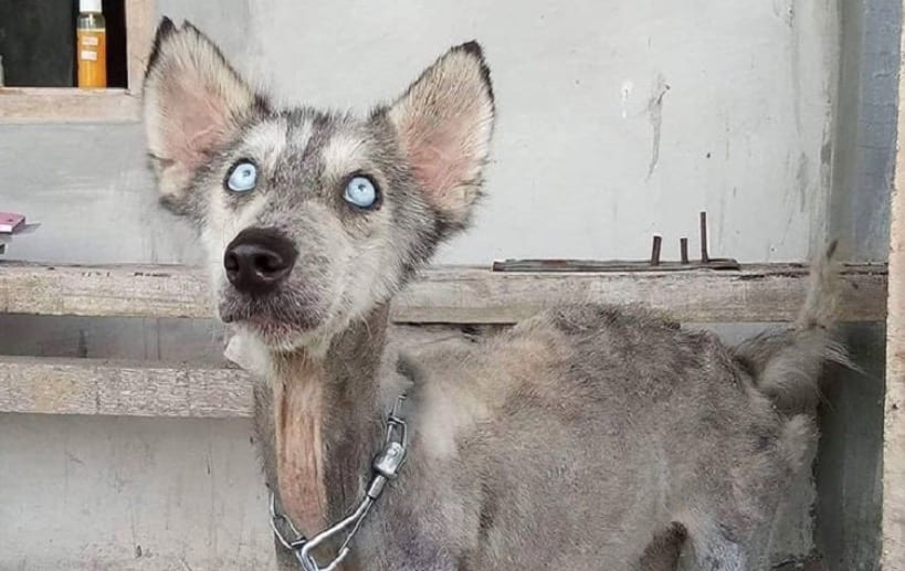 man From Bali Restores The Health Of A Skinny Dog husky In Just 10 Months