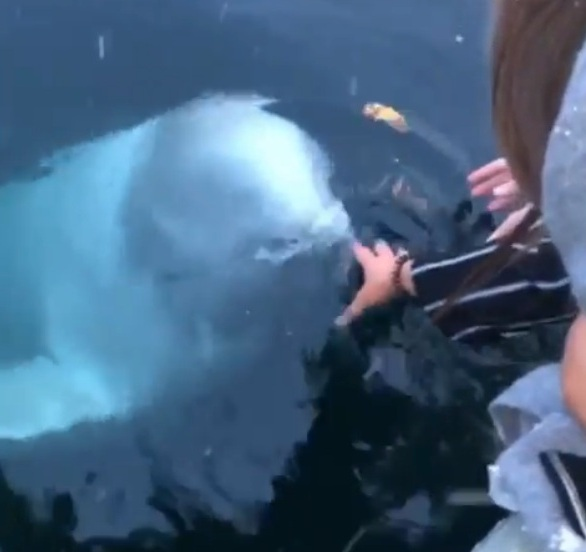 Beluga Whale Rescue Woman's Phone After It Accidentally Falls Into Ocean