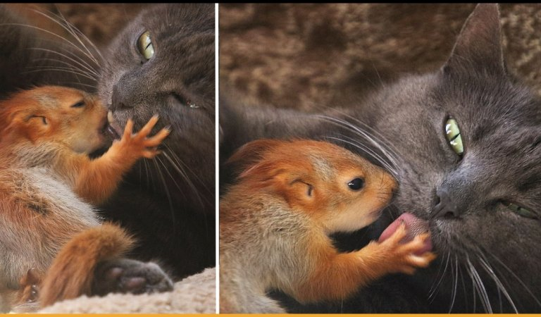 Adorable Cat Adopts Four Little Orphaned Baby Squirrels And Feeds Them As Her Own