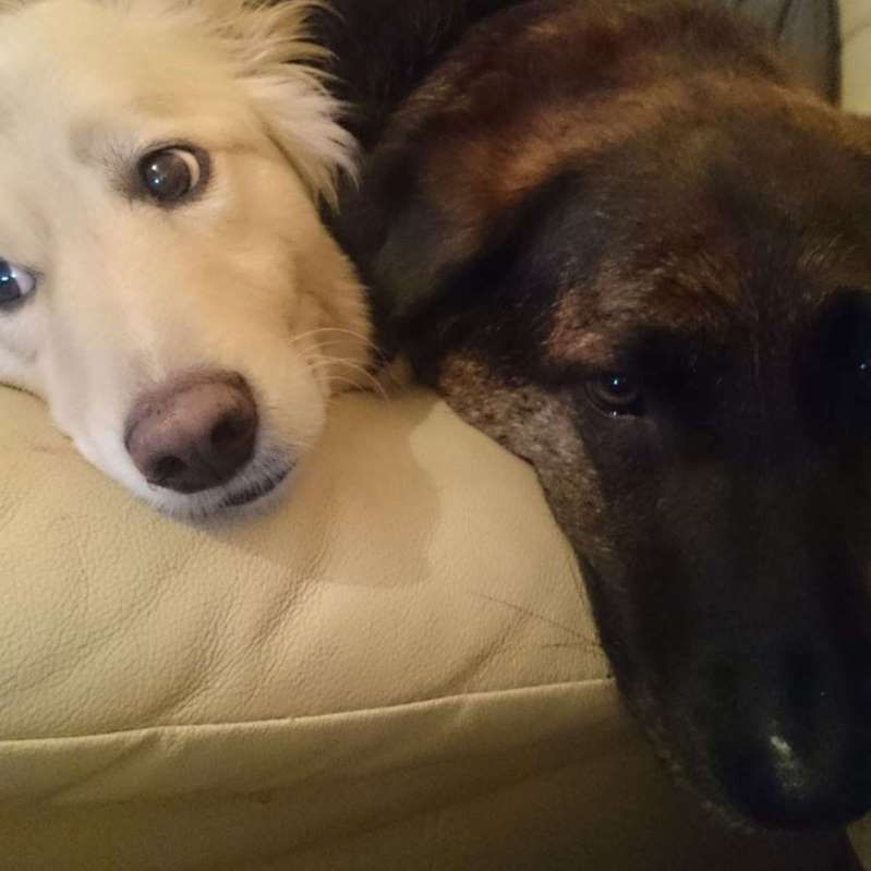 The Loss Of A Grieving Dog Is Solaced By A Pillow With Brother's Face
