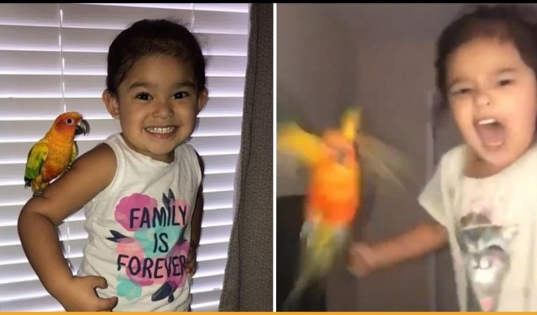This Pet Bird Is Trained By The Little Girl To Attack Whoever She Screams At