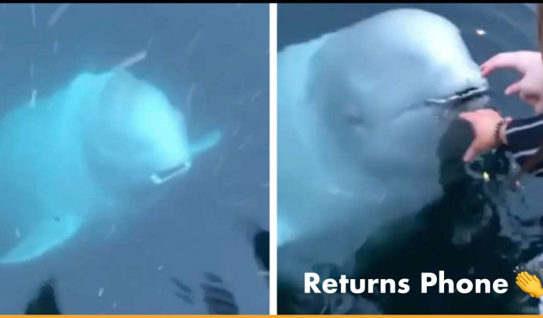 Beluga Whale Returns Woman's Phone After It Accidentally Falls Into An Ocean