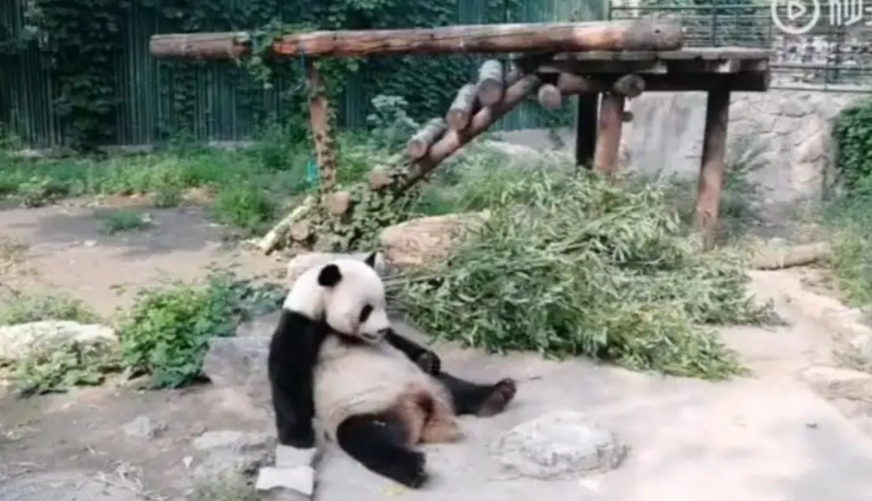 Tourists In A Zoo In Beijing Throw Rocks On Pandas To Wake Them Up