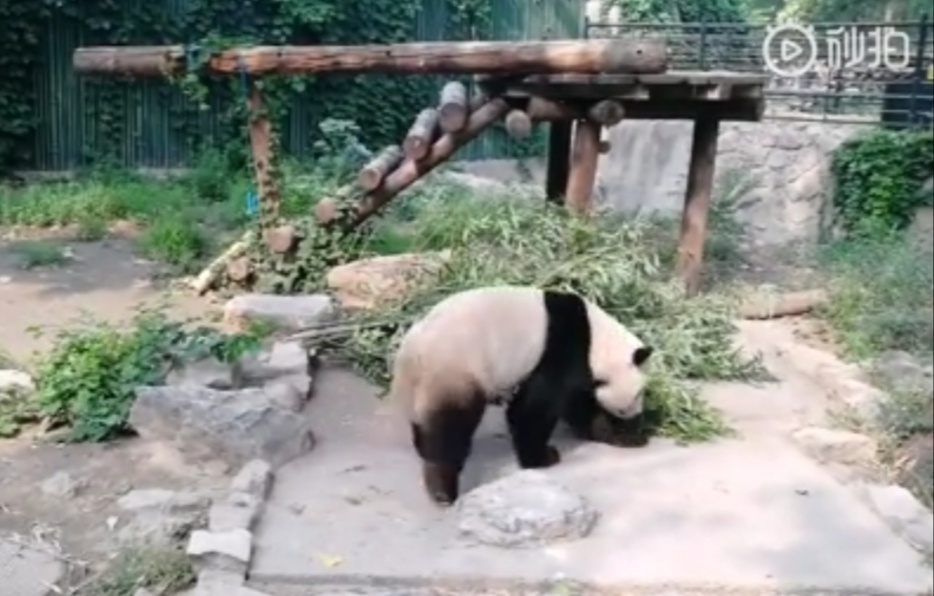 Tourist In A Zoo In Beijing Throw Rocks On Pandas To Wake Them Up
