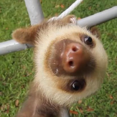 Baby sloths make you smile