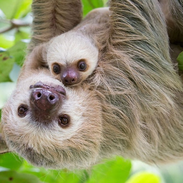 Cute pictures of baby sloths will make you smile