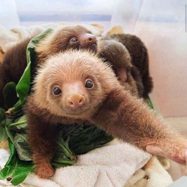 Baby sloths make you smile