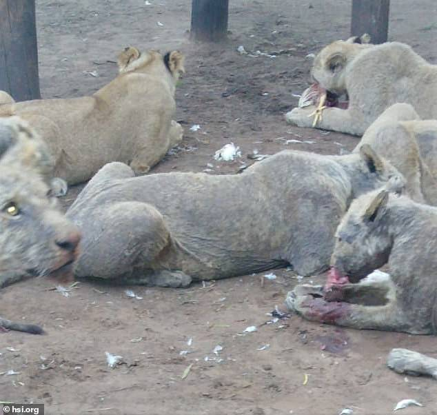 108 Diseased and Abused Lions Were Found on South African Farm