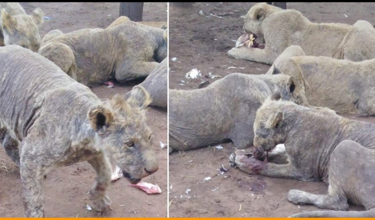 108 Diseased and Abused Lions Were Found on South African Farm, See Pictures