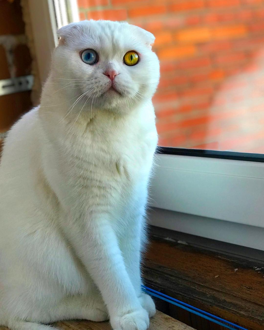 Scottish Fold Cat With Two Different Colored Eyes Has Left the Internet Stunned