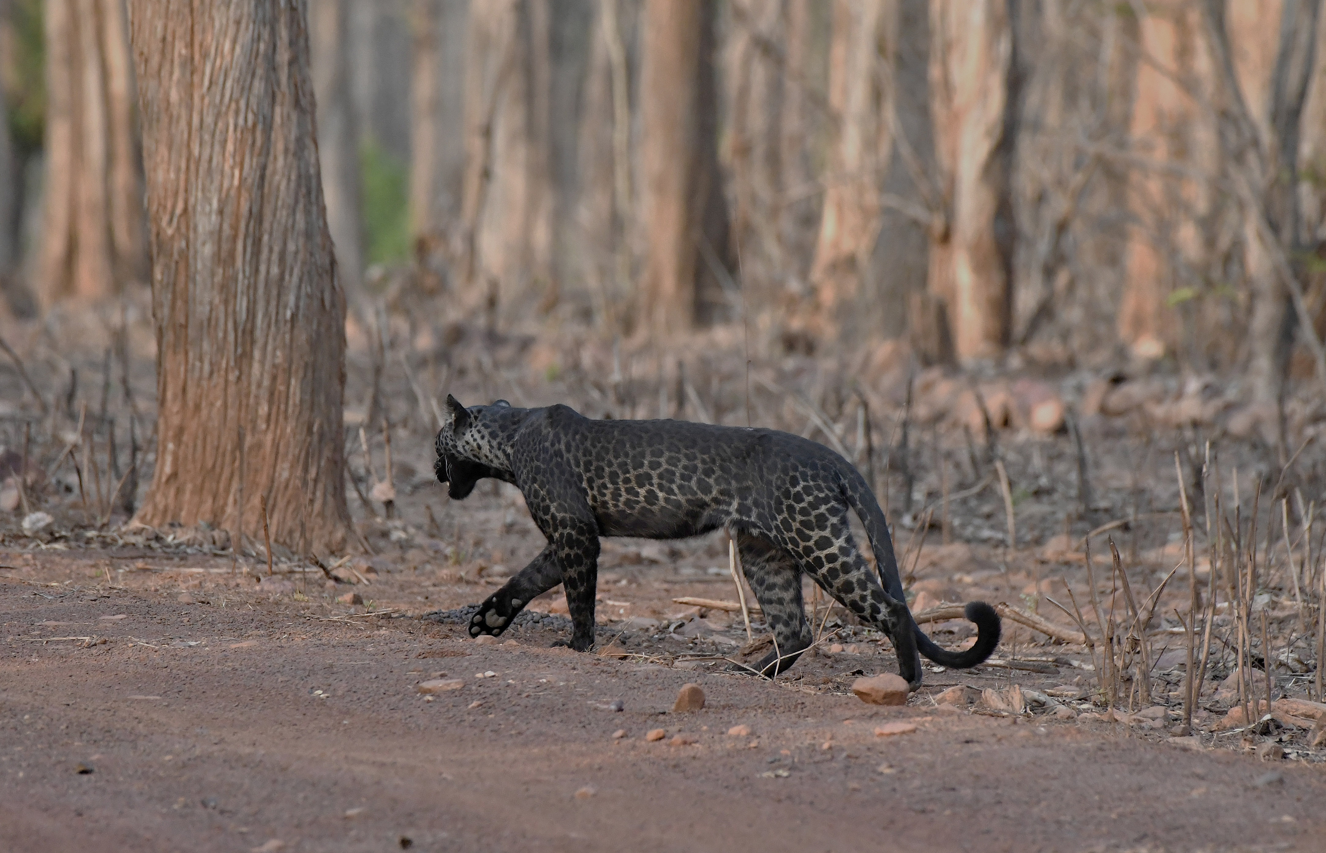 Extremely Rare Picture of Black Leopard Clicked By Tourist On First Ever Safari