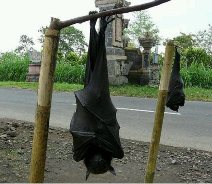 The Picture of This Human-Sized-Bat Surfacing The Internet Is Actually Real