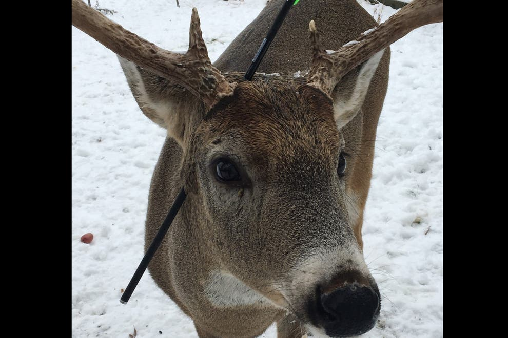 Carrot, The Deer Found With An Arrow Through His Head And He Is Still Alive